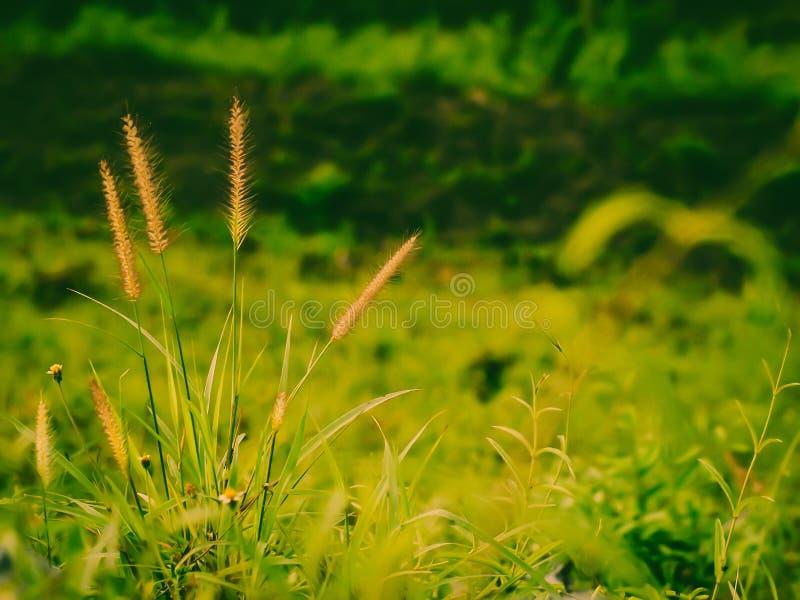 Campo salvaje de la hierba en la puesta del sol, rayos suaves del sol, naturaleza de tono caliente del verano Paisaje hermoso imagen de archivo libre de regalías