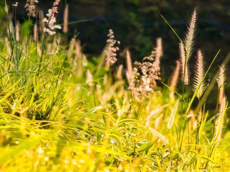 Campo salvaje de la hierba en la puesta del sol, rayos suaves del sol, naturaleza de tono caliente del verano Paisaje hermoso hol imagenes de archivo