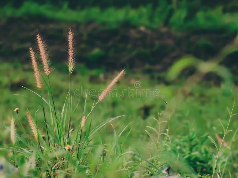 Campo salvaje de la hierba en la puesta del sol, rayos suaves del sol, naturaleza de tono caliente del verano imágenes de archivo libres de regalías