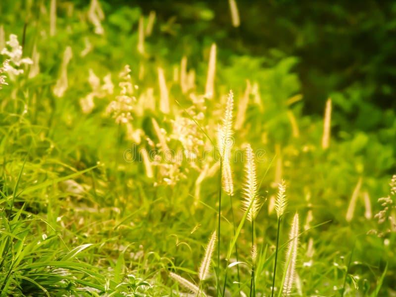 Campo salvaje de la hierba en la puesta del sol, rayos suaves del sol, naturaleza de tono caliente del verano fotografía de archivo