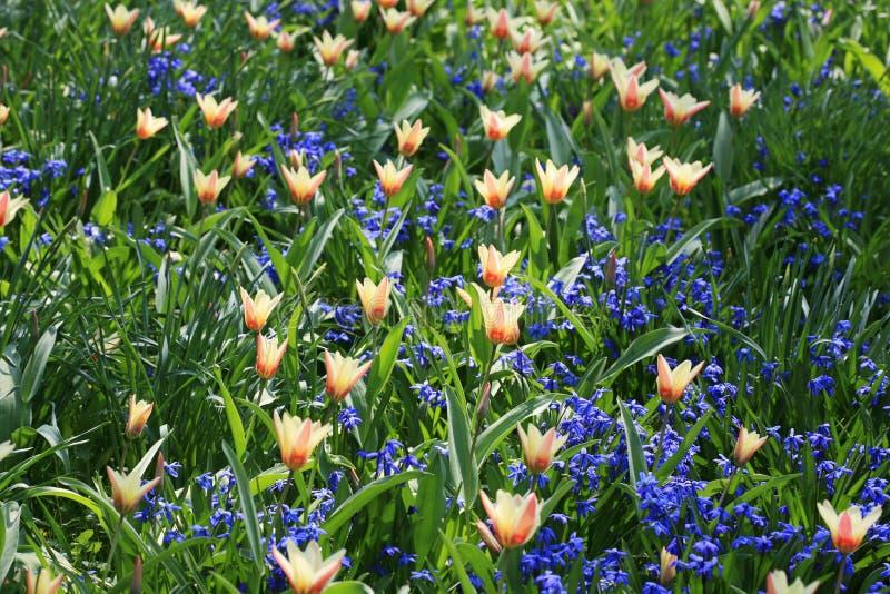 Campo salvaje del tulipán fotografía de archivo