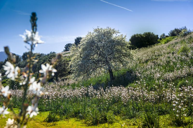 Campo sardo do Asphodel, San Teodoro, Sardinia, Itália foto de stock