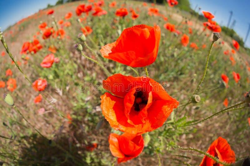 Campo selvagem com muitas flores da papoila vermelha, lente de fisheye, paisagem com distorção foto de stock royalty free