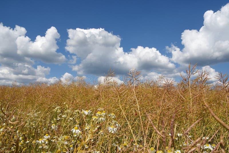 Campo selvaggio con cielo blu e le nuvole, uno sfondo naturale ai commerciels fotografia stock