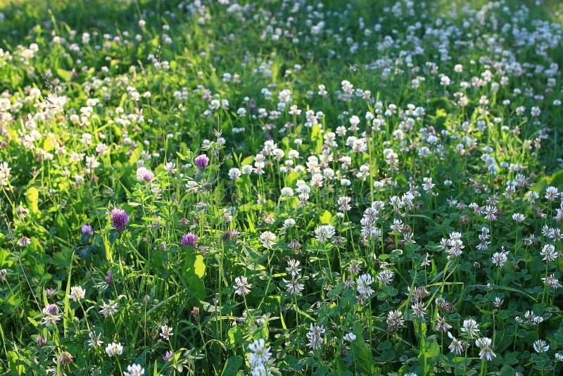 Campo soleado con las flores salvajes foto de archivo