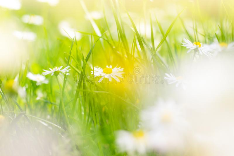 Campo soleado de margaritas; fondo de la primavera imagenes de archivo