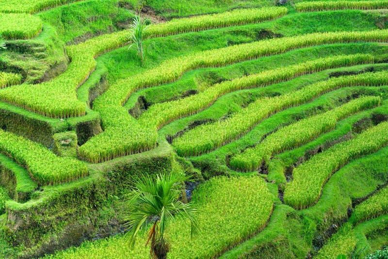 Campo surpreendente do terraço do arroz, Ubud, Bali, Indonésia imagem de stock