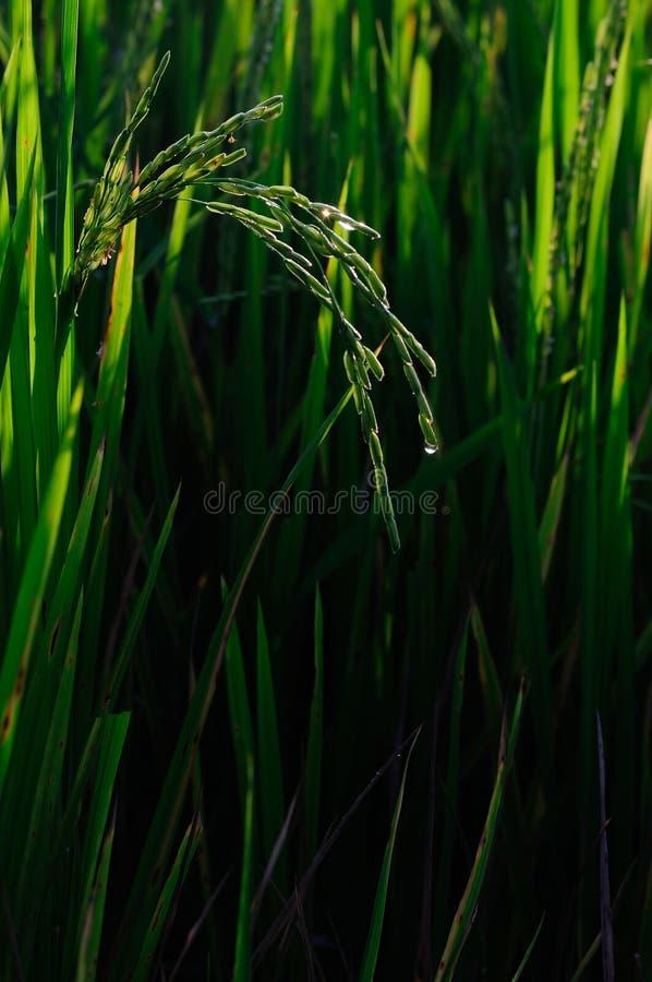 campo Tailândia fotos de stock