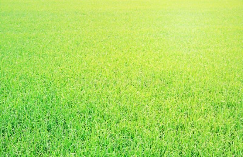 Campo Terraced verde do arroz na manhã, fundo imagem de stock royalty free