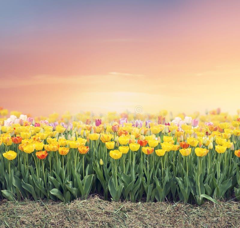 Campo tulipán colorido fotografía de archivo