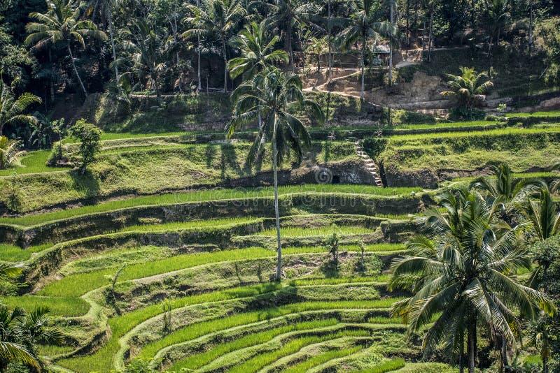 Campo Ubud 3 Del Verde De La Terraza Del Arroz De Bali