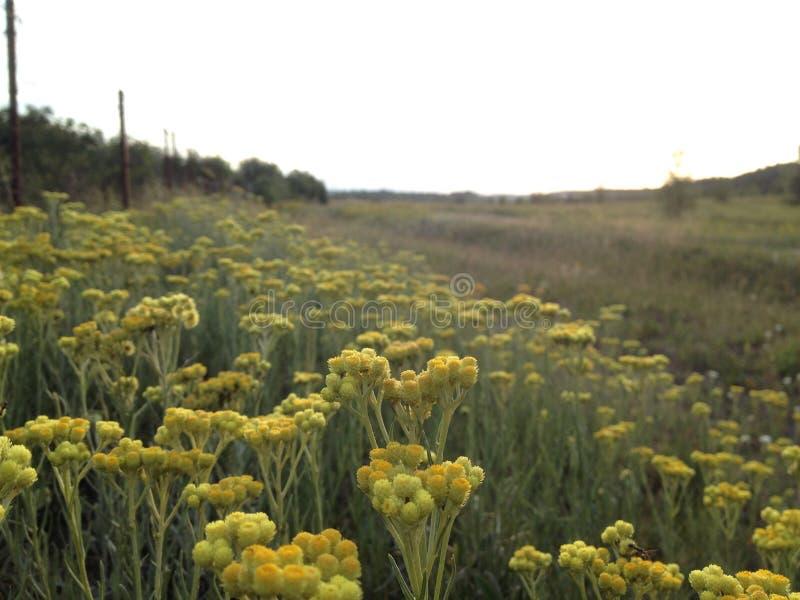 Campo ucraniano con los wildflowers foto de archivo libre de regalías