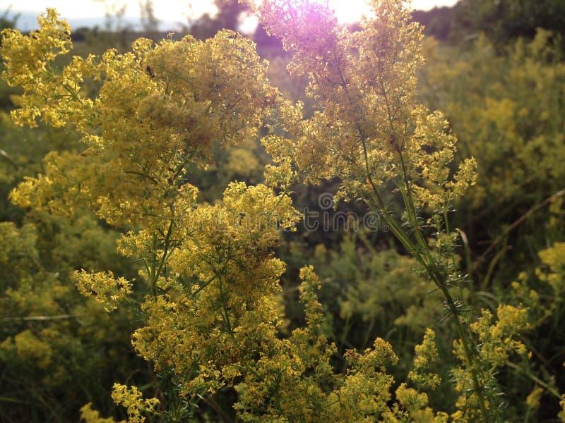 Campo ucraniano con los wildflowers amarillos fotografía de archivo libre de regalías