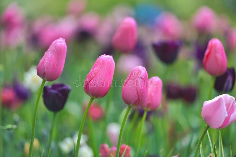 Campo variopinto del tulipano, foglia verde del flowerwith di estate con il fiore vago come fondo immagini stock libere da diritti