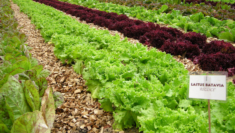 Campo vegetal orgânico fotos de stock royalty free
