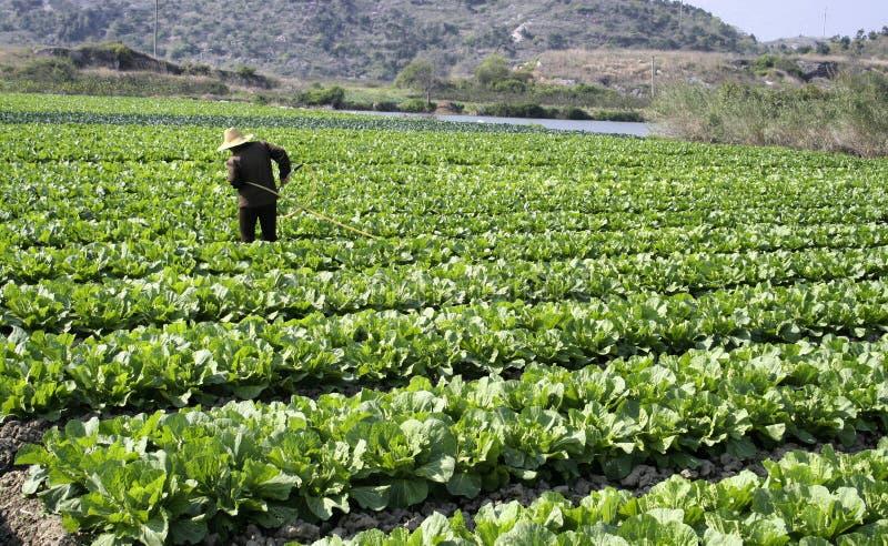 Campo vegetal vasto foto de stock royalty free