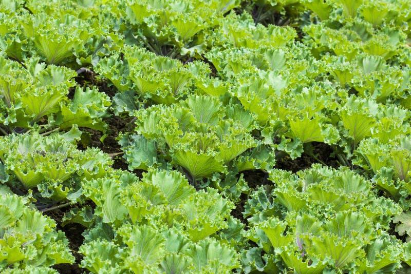 Campo vegetal verde imagens de stock