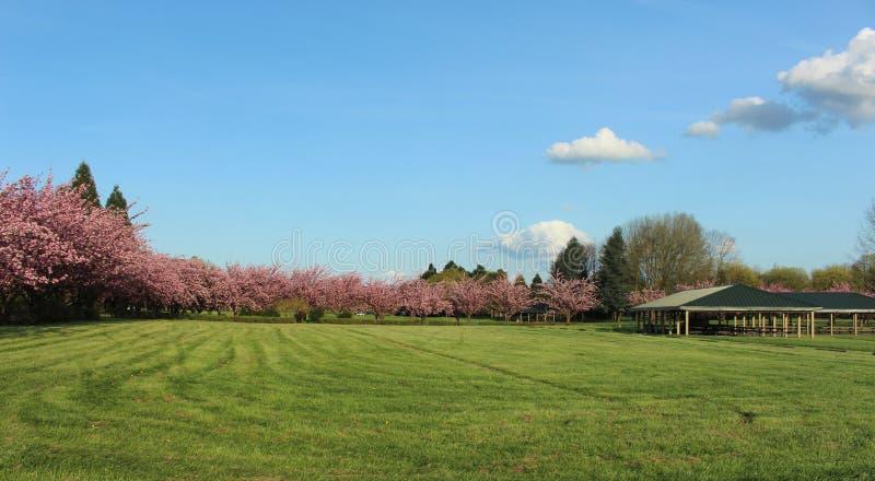 Campo verde com as árvores completas de flores cor-de-rosa imagens de stock royalty free