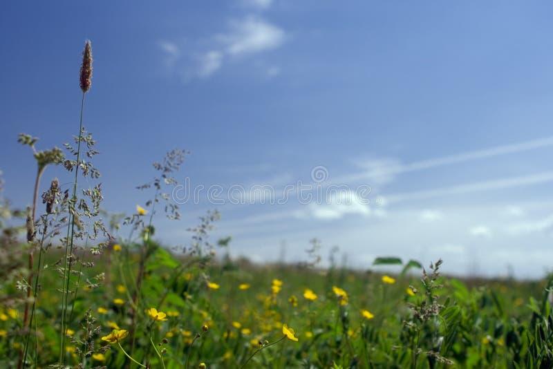 Campo verde com flores imagem de stock royalty free