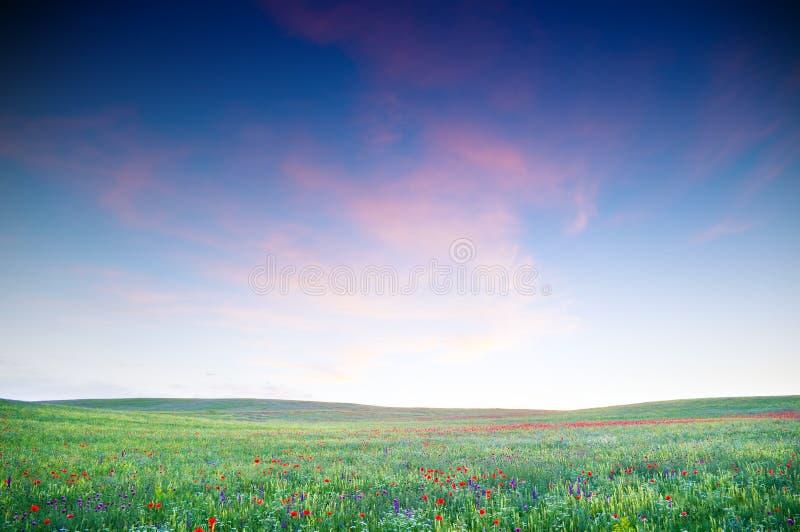 Campo verde com flores de florescência fotos de stock royalty free