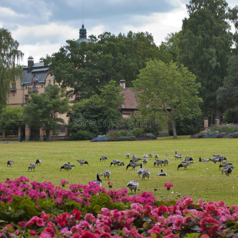 Campo verde com os patos em Éstocolmo fotografia de stock