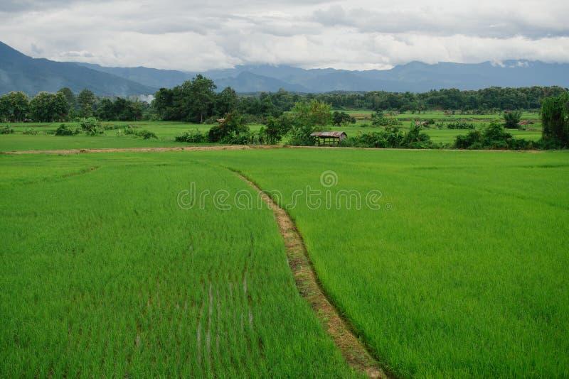 Campo verde completamente do trigo imagens de stock royalty free