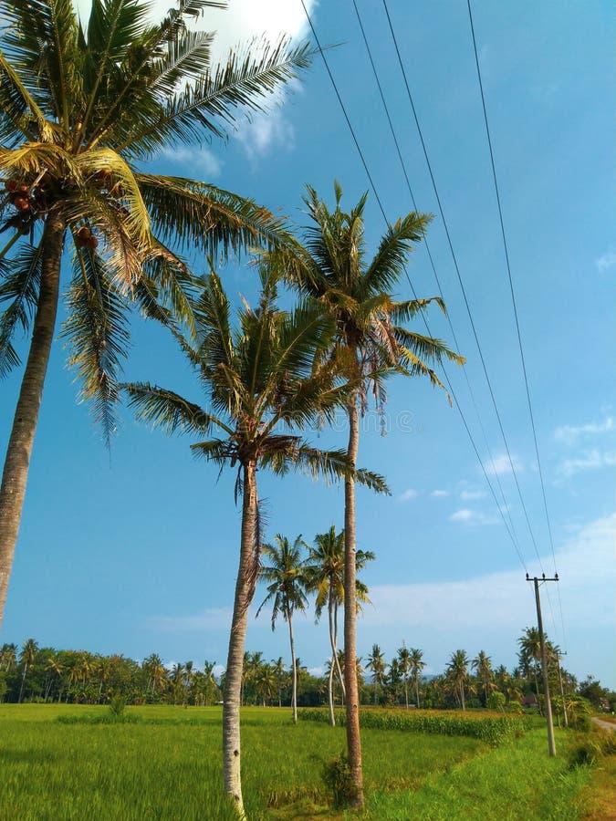 Campo verde con cocco fotografia stock