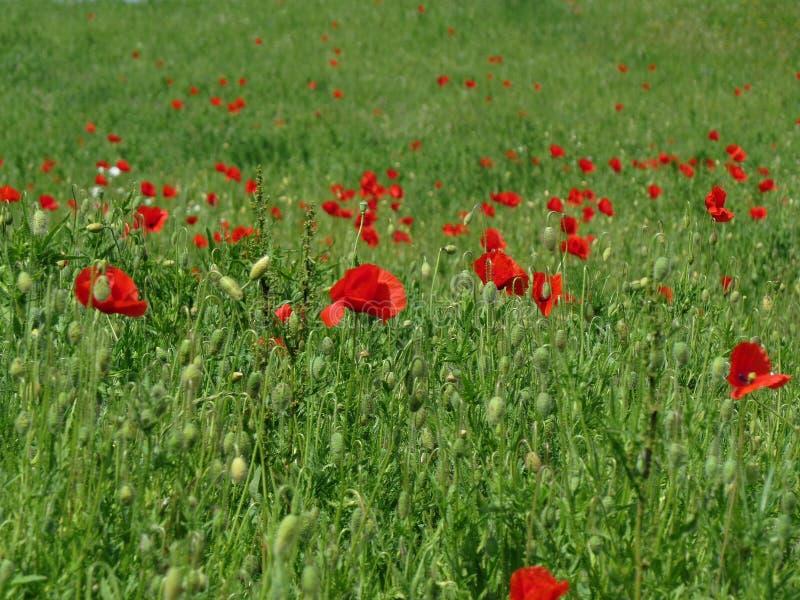 Campo verde con i papaveri fotografia stock