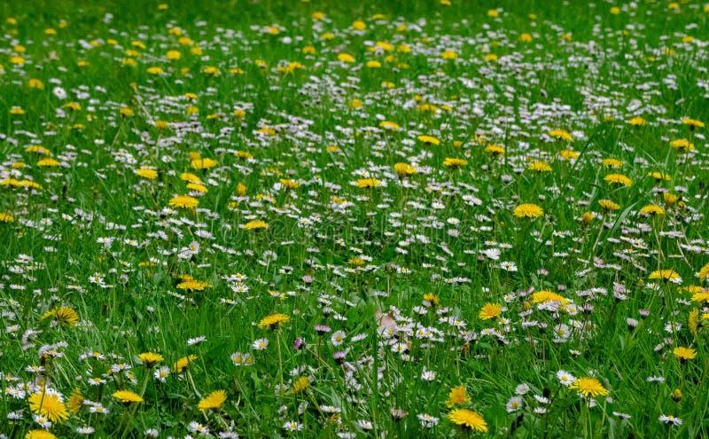Campo verde con las flores blancas y amarillas imágenes de archivo libres de regalías