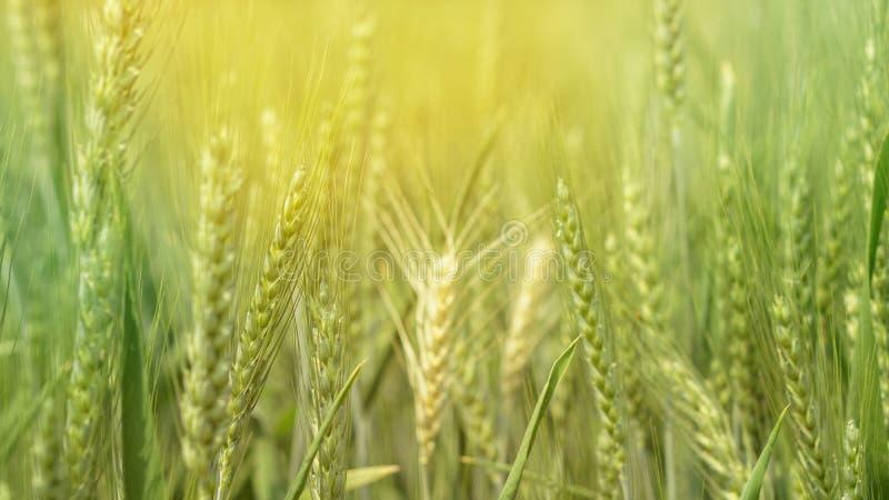 Campo verde da cevada, exploração agrícola saudável da agricultura do alimento da grão imagens de stock