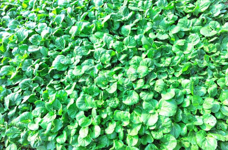 Campo verde da mostarda fotos de stock royalty free