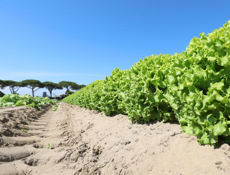campo verde de alface fresca e perfumada pronta a ser capturada foto de stock royalty free