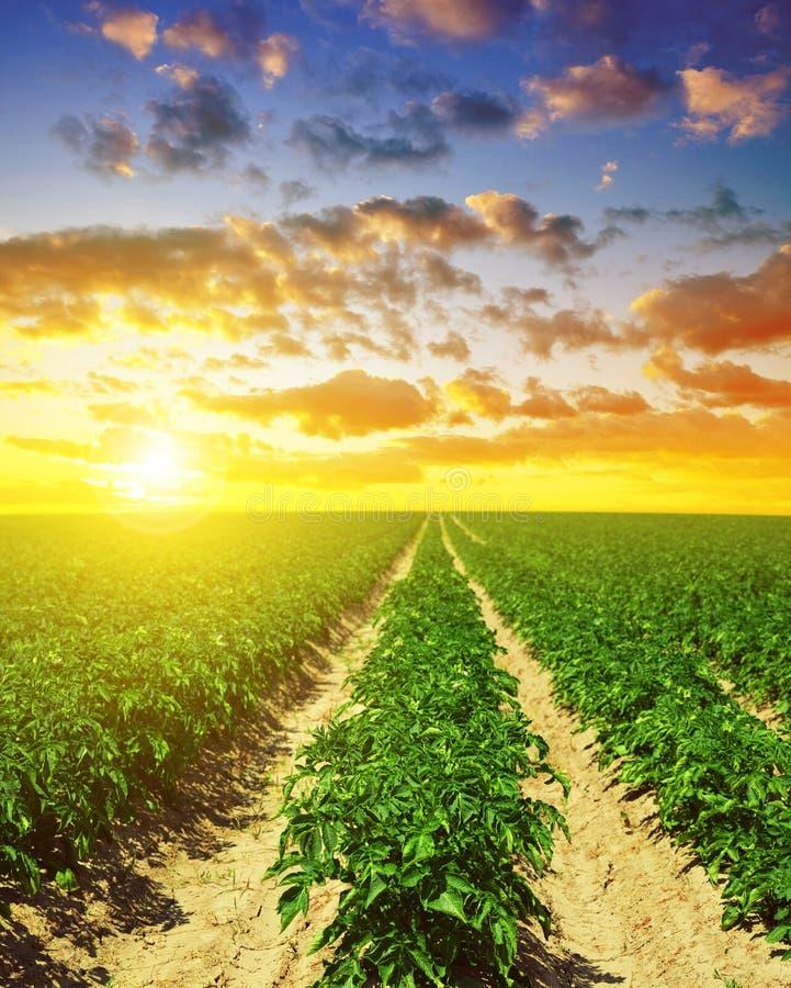 Campo verde de colheitas da batata fotos de stock royalty free