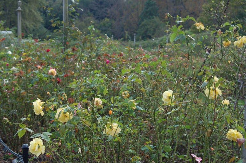 Campo verde de flores amarelas e dos botões vermelhos foto de stock