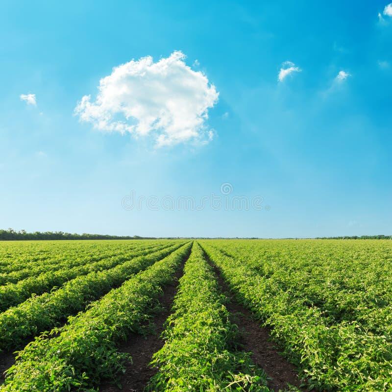 Campo verde de la agricultura con el tomate y el cielo azul con el ove de las nubes imagen de archivo libre de regalías