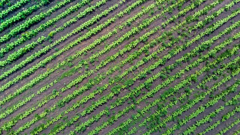 Campo verde del país del girasol con las líneas de la fila, visión superior imágenes de archivo libres de regalías