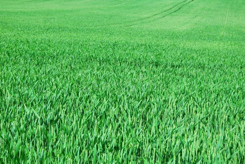 Campo verde del trigo joven en primavera imagen de archivo libre de regalías