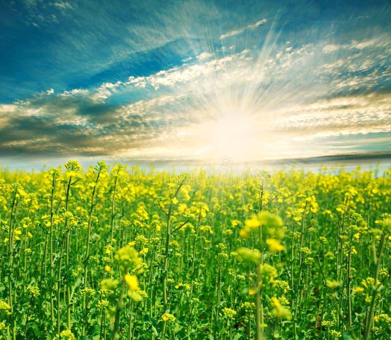Campo verde di fioritura su un fondo del sol levante fotografie stock libere da diritti