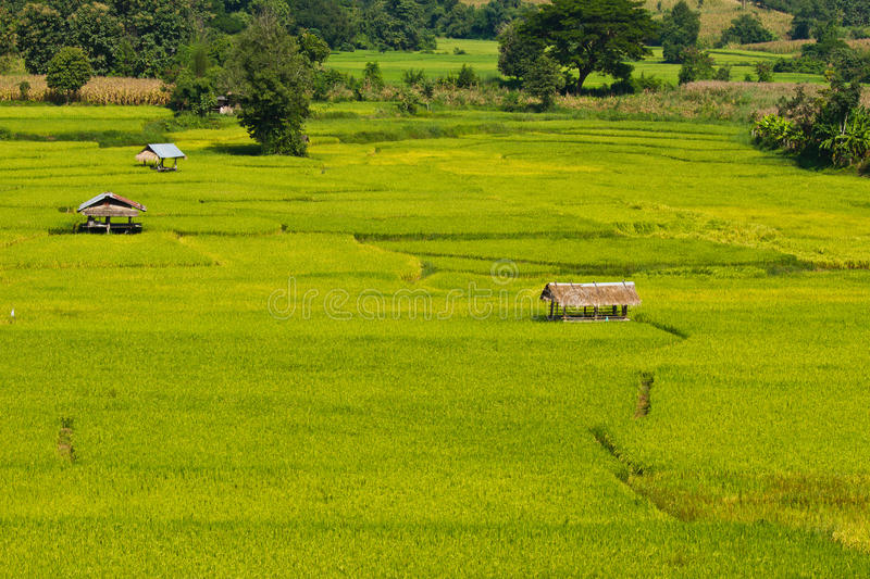 Campo verde do arroz fotos de stock