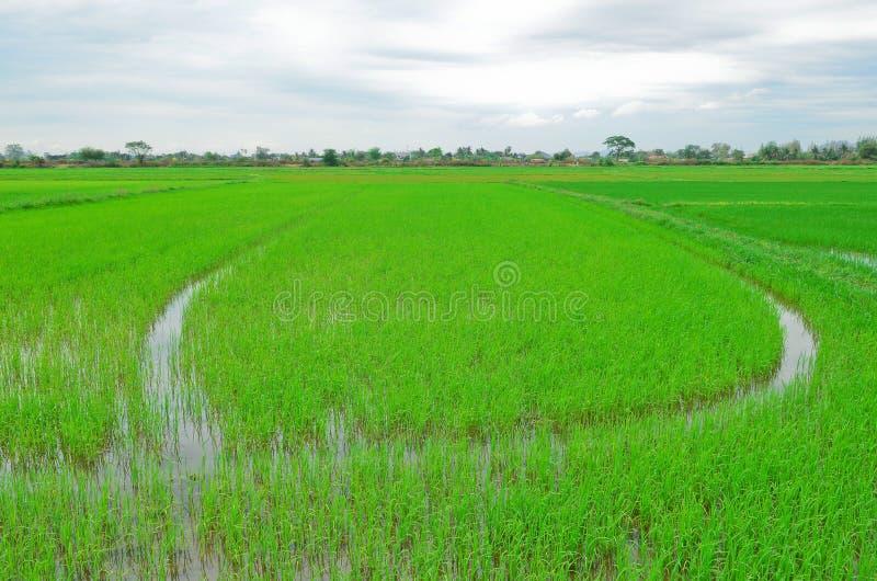 Campo verde do arroz imagem de stock royalty free