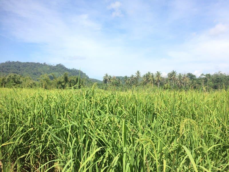 Campo verde do arroz com folhas verdes e o céu azul foto de stock royalty free