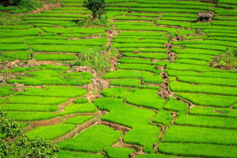 Campo verde do arroz dos terraços, uma beleza natural bonita na montanha em Nan, Khun Nan Rice Terraces, Boklua Nan Province, Tai imagens de stock