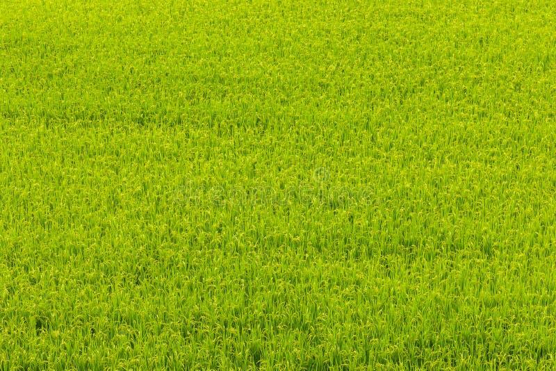 Campo verde do arroz em Aso, Japão fotos de stock royalty free