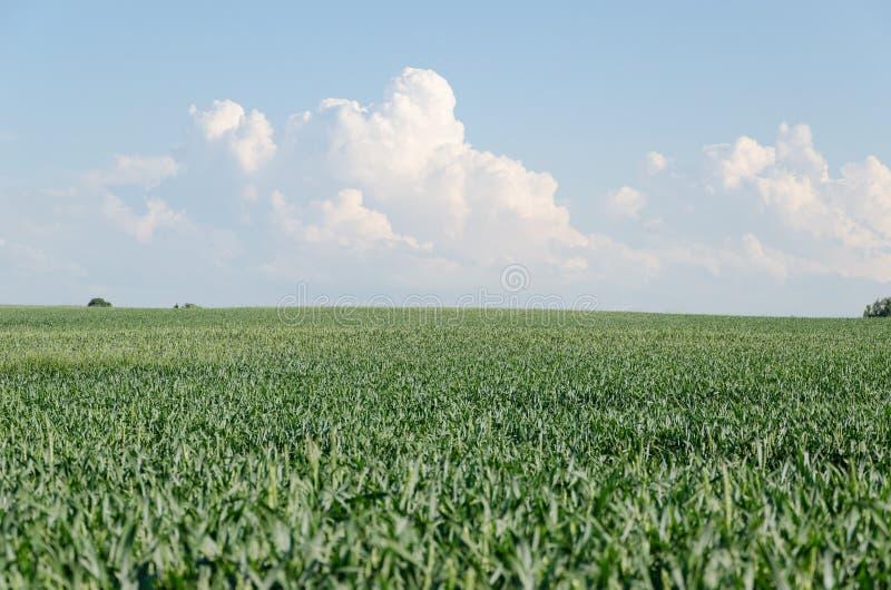 Campo verde do centeio e fundo do céu azul e da nuvem imagem de stock