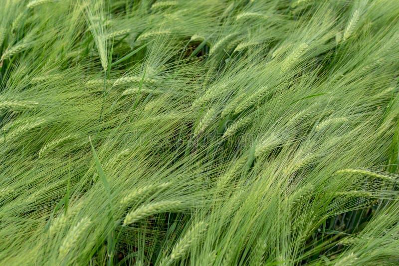 Campo verde do centeio fotografia de stock