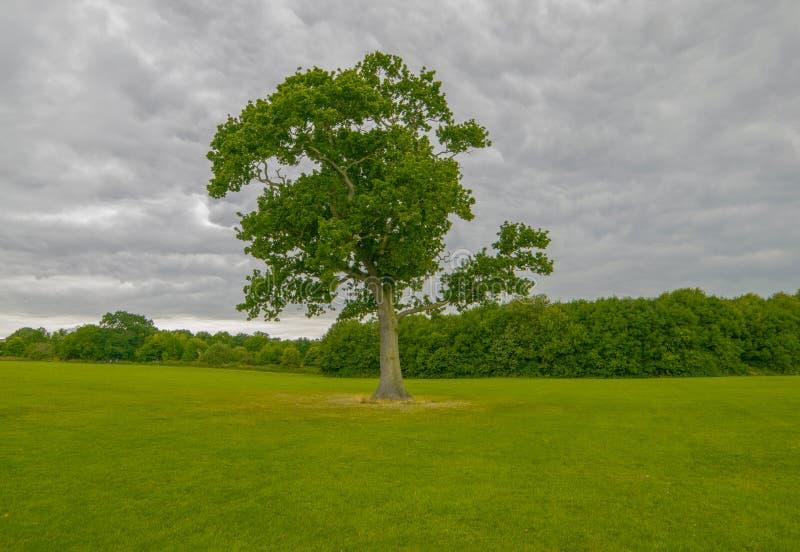 campo verde do inverno com árvore grande fotos de stock royalty free