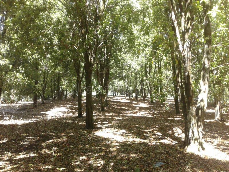 Campo verde dos cravos-da-índia fotografia de stock