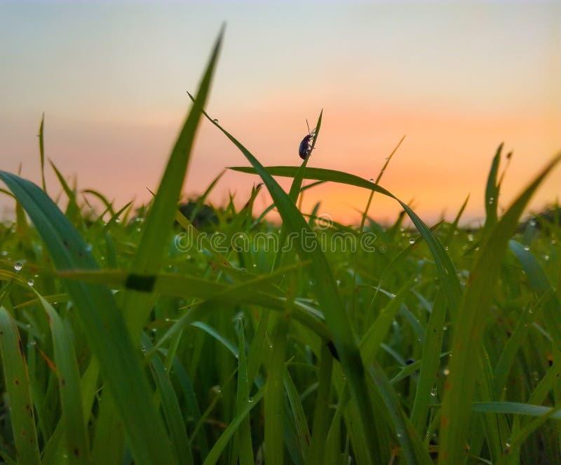campo verde durante puesta del sol foto de archivo