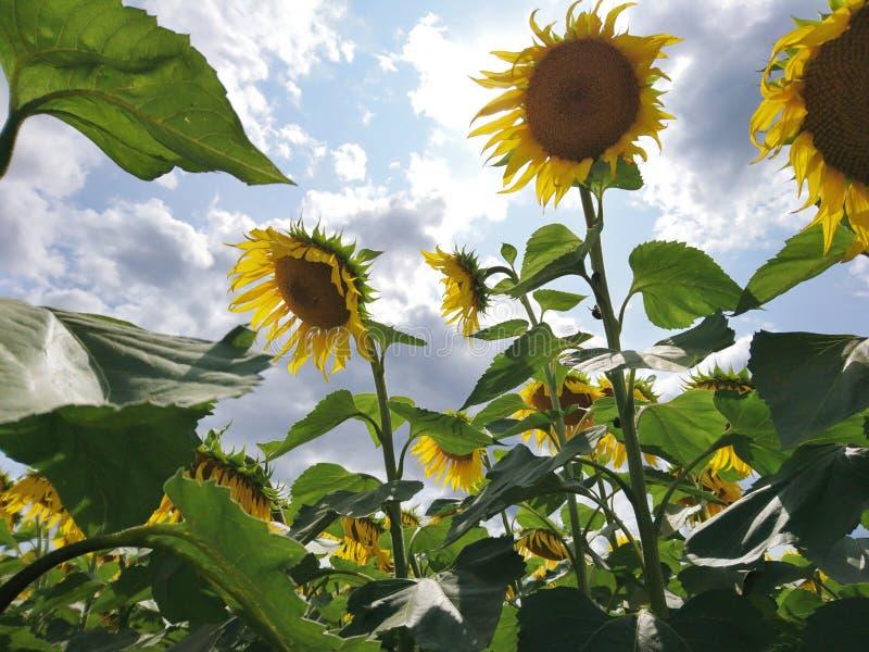Campo verde e amarelo do girassol do verão com céu azul e as nuvens bonitas fotografia de stock royalty free