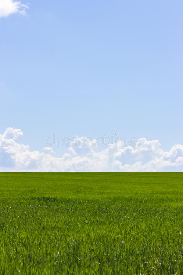 Campo verde e céu azul com nuvens brancas, o vertical da paisagem do papel de parede do fundo Paisagem rural com brotos do trigo, imagem de stock